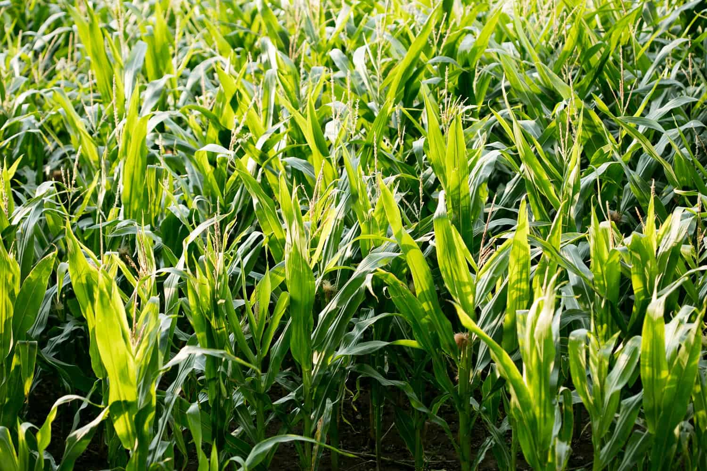 Association de plantes (Milpa) - Nutri Green Planet.jpg