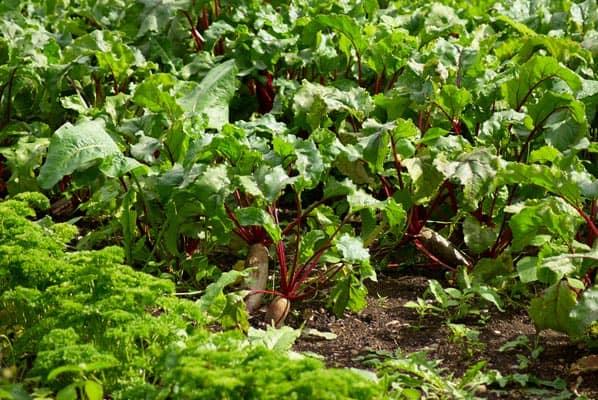 Association de plantes avec les betteraves - Nutri Green Planet.jpg