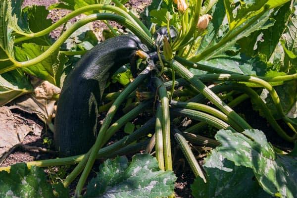 Association de plantes avec les courgettes - Nutri Green Planet.jpg
