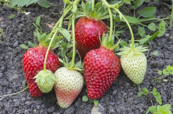 Association de plantes avec les fraises - Nutri Green Planet.jpg