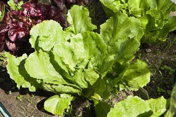 Association de plantes avec les laitues - Nutri Green Planet.jpg