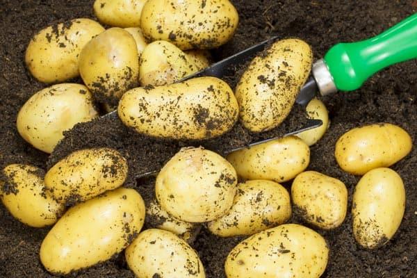 Association de plantes avec les pommes de terre - Nutri Green Planet.jpg