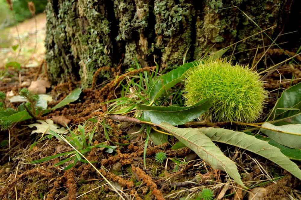 Chataigne sur le sol - Nutri Green Planet