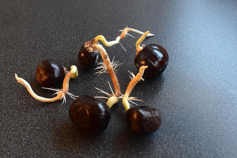 Châtaignes germées sur table - Nutri Green Planet