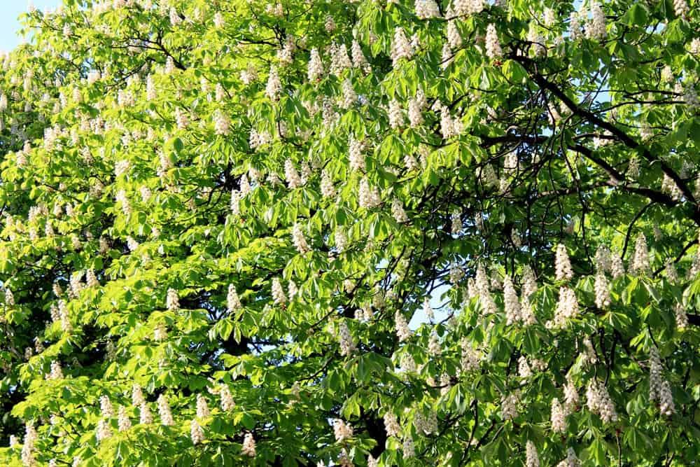 Châtaignier en fleurs - Nutri Green Planet