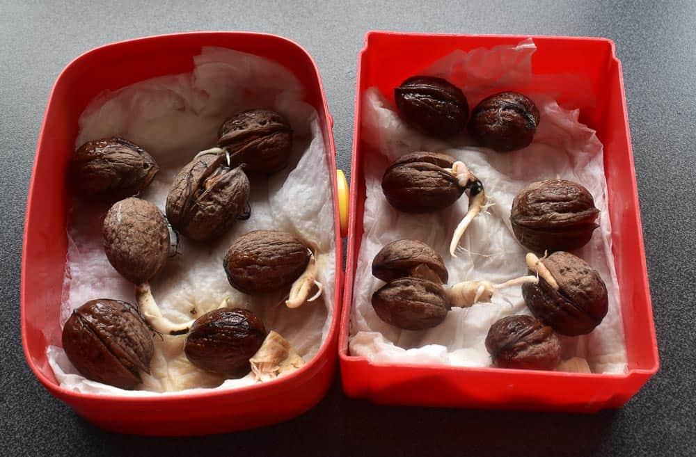 Faire germer des noix - Nutri Green Planet