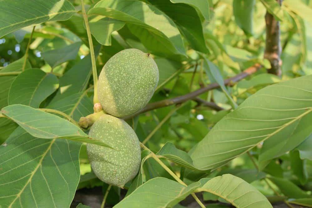 Noix verte sur arbre - Nutri Green Planet