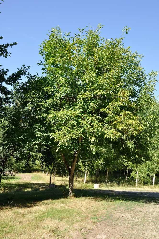 Noyer adulte - Nutri Green Planet