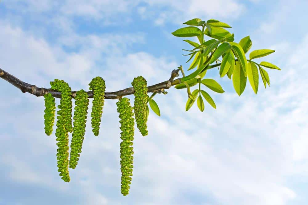 Noyer en fleurs - Nutri Green Planet