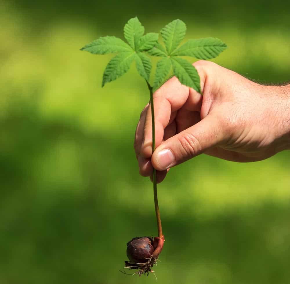 Petit châtaignier - Nutri Green Planet