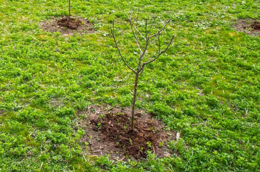 Petit pommier dans l'herbe - Nutri Green Planet