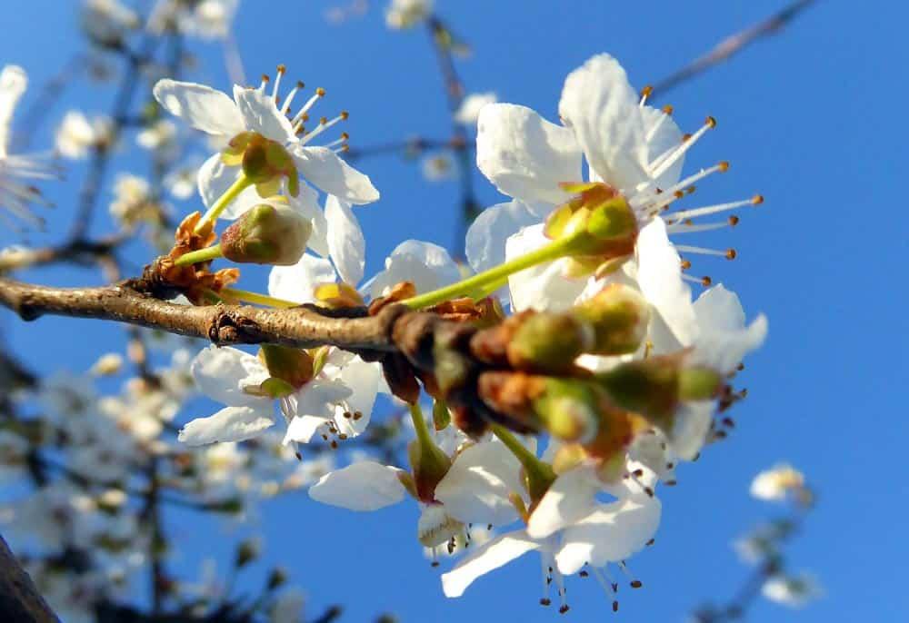 Pommier en fleur 2 - Nutri Green Planet