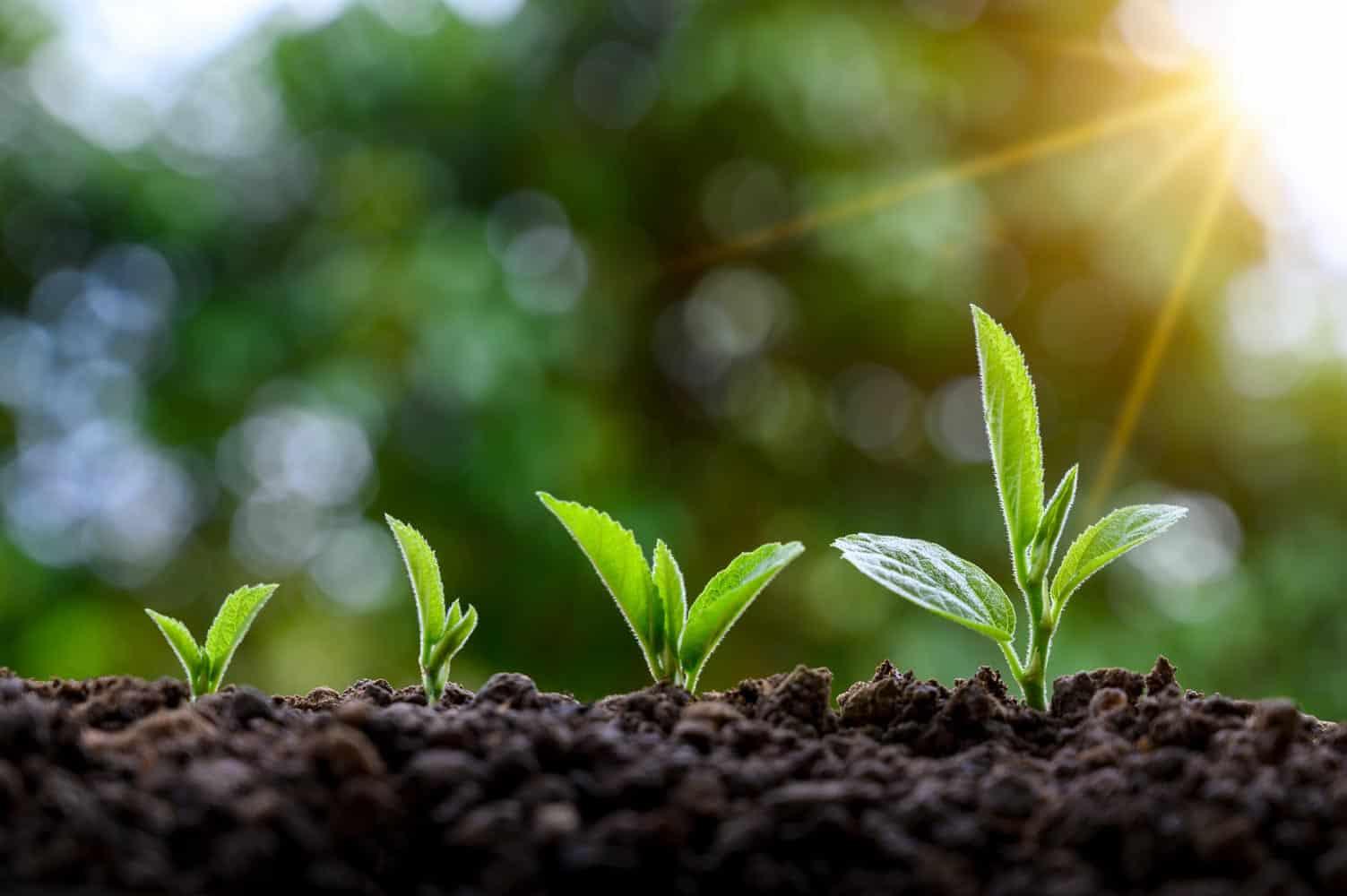 Faire des semis échelonnés dans le temps (Nutri Green Planet)